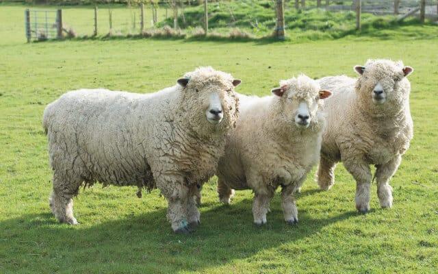 ryeland sheep small